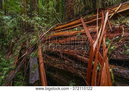 The Giant Red Cedar Trees At Redwoods National Park