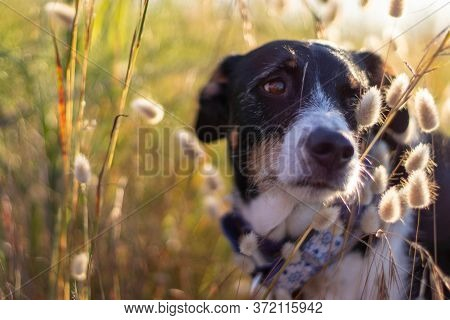Dog Posing Loose With Ears Of Wheat And Nice Lighting