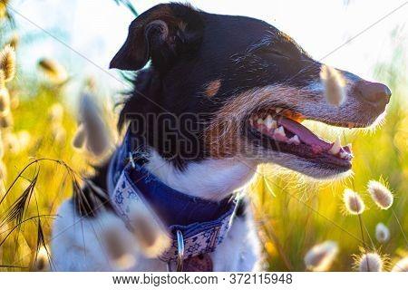 Dog Posing Loose With Ears Of Wheat And Nice Lighting