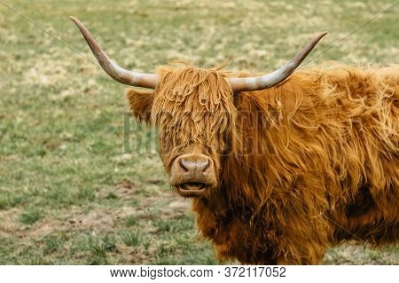 Close up of highland cattle in field.Highland Cow in a pasture looking at the camera.Hairy yak in the Czech mountains enjoys sunny day.Horned red-haired bull in a meadow.