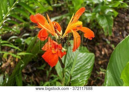 Artistic Portrait Photo Of A Orange Canna Indica Flower With Dark Blurry Background. Closeup Shot Of