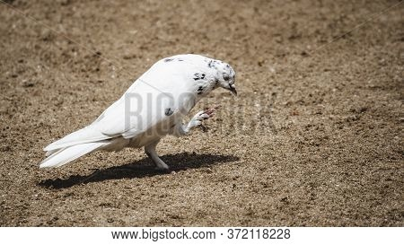 Symbol Of Hope And Peace White Pigeon Pose For Portraiture Eyes Closed Itching Her Face