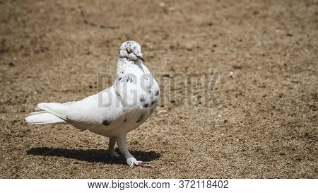 Symbol Of Hope And Peace White Pigeon Pose For Portraiture Eyes Half Closed