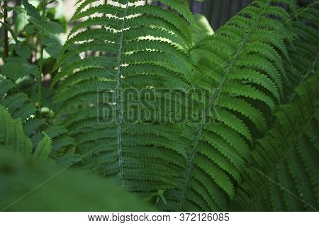 Fern In The Summer. Fern Leaves Close Up. Beautifully Body Of Young Leaves Of Green Ferns.