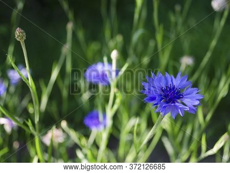 Cornflowers In The Summer. Beautiful Wildflowers Cornflower. Close-up View From The Top And Side. Bl