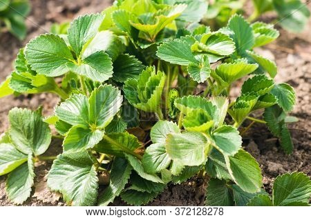 Leaves Of Strawberry In The Garden. Strawberry Leaves