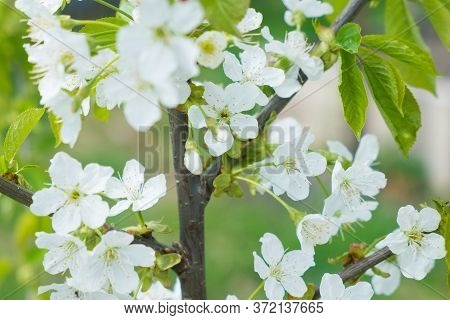 White Apple Flowers On The Green Tree, Close Up.