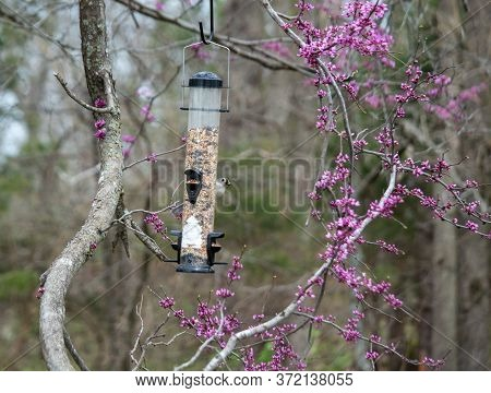 A Tufted Titmouse Enjoys The Backyard Feeder On A Spring Day In Missouri. The Redbud Tree Is Bloomin