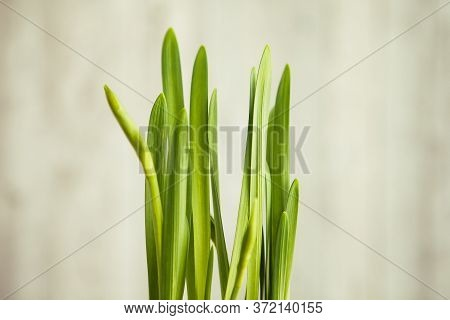 Green Onion Against The Light Wall, Close Up