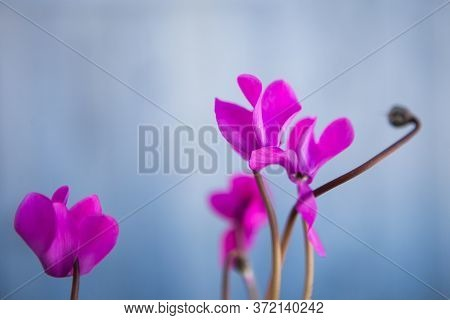 Pink Flowers Cyclamen On The Light Blue Background