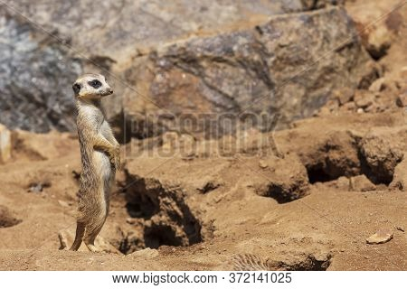 Meerkat - Suricata Suricatta - Stands And Looks Around