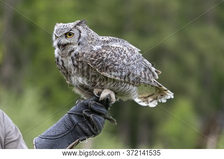 The Barn Owl - Bubo Virginianus - Falconry-headed Sits On The Hands Of A Falconer With A Glove On Hi