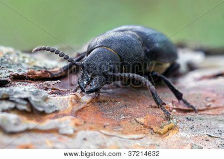 The Sawyer Beetle