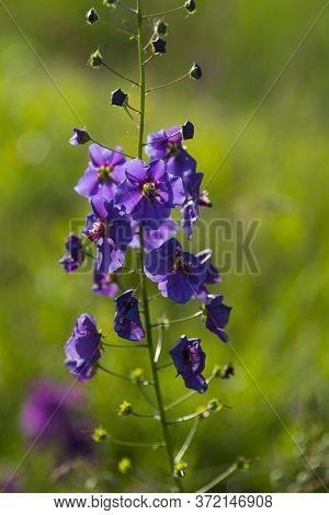 Single Wild Blue Flower Delphinium Elatum. Larkspur Flower. Summer Blooming Meadow. Flowering Field