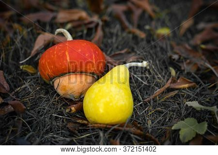 Two Decorative Pumpkins Of Different Shapes On Withered Leaves. Autumn Background.