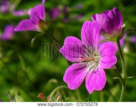 Close Up Of Purple Flower Detailing The Central Pistil Of The Flower. Gardening, Pottery, Summer Hob
