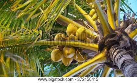 Coconut Trees Or Palm Tree. Scenic View Tall Coconut Palm Tree With Sun Light When Looking Up Blue S