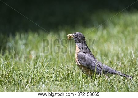 American Robin Father Collects Earthworms For Its Chicks. Although He Has Much Food In His Mouth, He