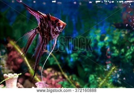Angelfish Swims In An Aquarium, Aquarium Fish Close-up
