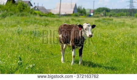 A Cow Grazes In A Field On A Summer Day. Cow In The Pasture. A Young Cow Grazes On A Green Meadow