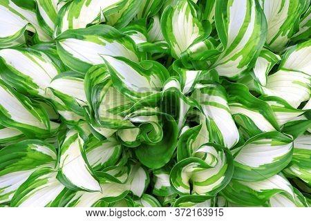 White-green Leaves Of Hosta. Bush Of Hosta. Close Up Green Leaves. Plants Background. Summer Plants
