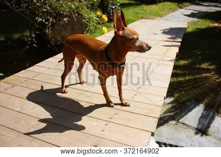 Brown Domestic Pinscher Puppy In The Garden On Wooden Platform