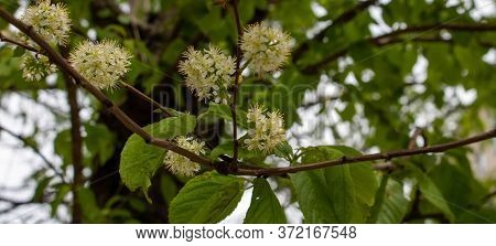 Bird Cherry Tree In Blossom. Close-up Of A Flowering Tree Cherry Maaka With White Small Flowers. Vie