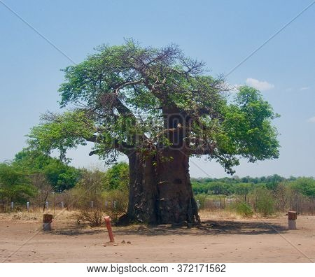 Enormous Tree Trunk On Tree In Botswana, Africa