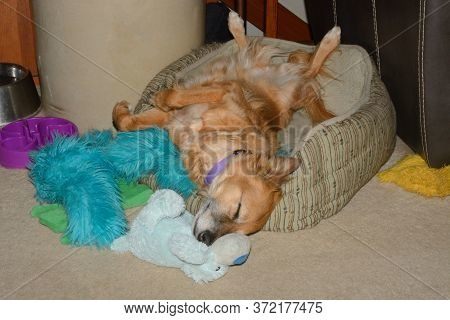 Sleeping Mixed Breed Brown Dog Sprawled Out In Back Sleeping In Dog Bed In Home Surrounded By Dog To