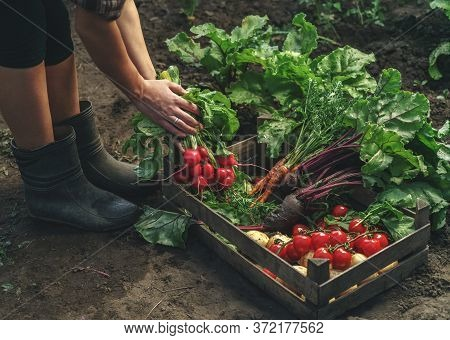 Farmer Folding Fresh Vegetables In Wooden Box On Farm At Sunset. Woman Hands Holding Freshly Bunch H