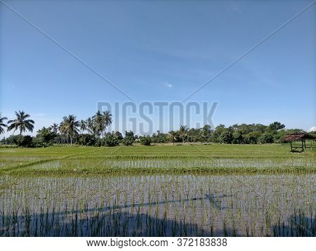 Beautiful Rice Field Views With Green Expanse Of Plants In The Fields