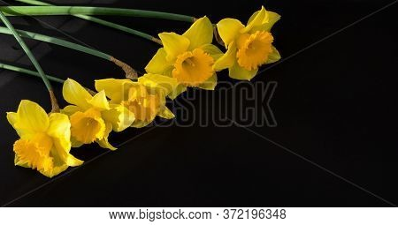 Yellow Daffodils On A Black Background. Bright Spring Banner. Studio Shot. Top View Of The Daffodils