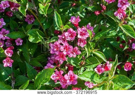 Pink Blossoms At A Flowering Kolkwitzia Amabilis Or Beauty Bush In Springtime