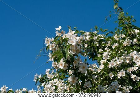 White Flowering Philadelphus Coronarius Or Sweet Mock Orange On A Sunny Day In Springtime