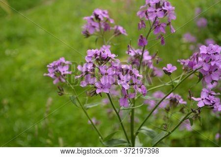 Purple Dame's Rocket Flowers, Hesperis Matronalis, On Soft Focus Background. Concepts Of Wildflowers