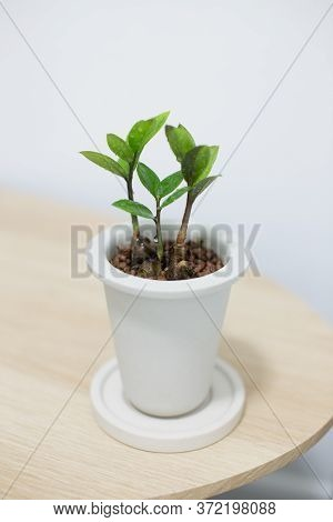 Zz Plant In White Ceramic Pot On Wooden Table.