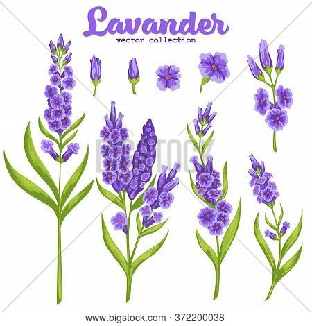 Blooming Plant On Stem With Flourishing And Foliage. Isolated Icon Of Lavender Flower, Set Of Elemen