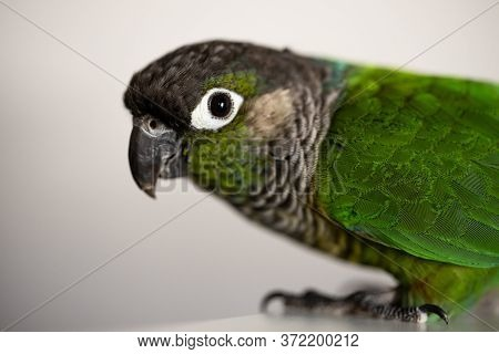 Captive Green Cheeked Conure With A Blue Leg Ring (pyrrhura Molinae)