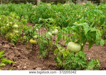 Green Tomatoes In The Garden. Growing Tomatoes In The Open Ground. Fruit Tomato On A Branch Close-up
