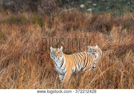 Wild Tiger Sibling In Safari. Tiger In Action Running And Stalking Prey Walking In Grassland Area Of