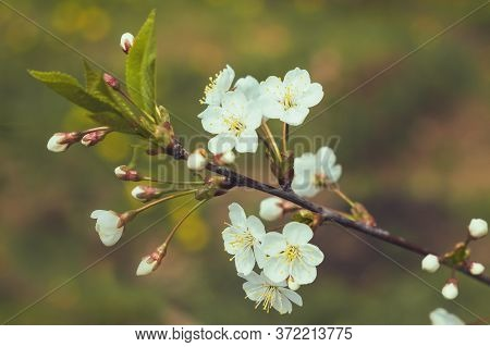 White Apple Flowers On The Green Background, Close Up