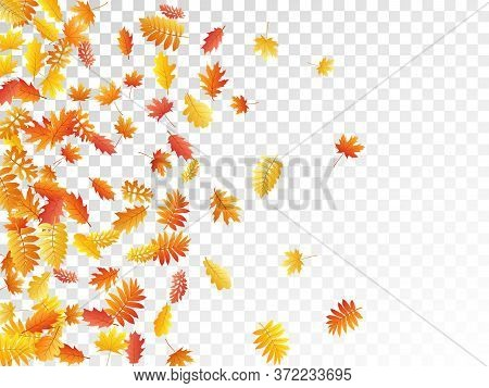 Oak, Maple, Wild Ash Rowan Leaves Vector, Autumn Foliage On Transparent Background. Red Orange Yello