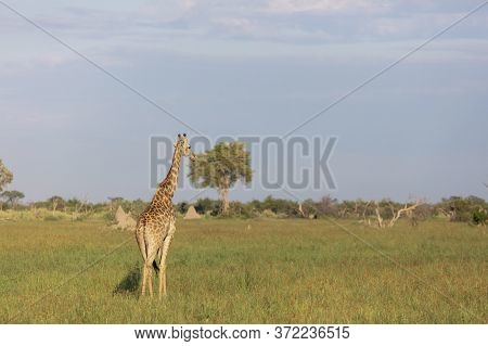 A Single Giraffe Looks Out Over The Okavango Delta As It Is Illuminated By The Early Morning Sun.