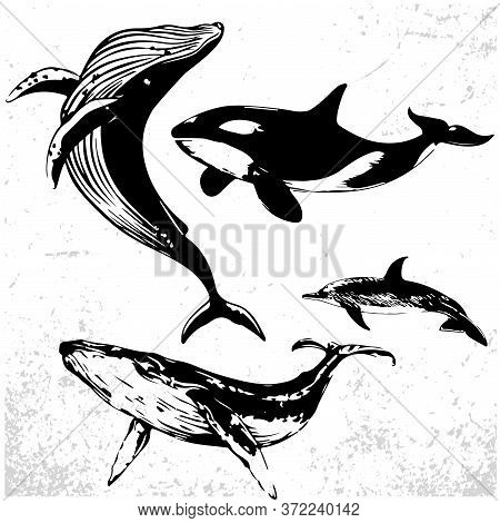 Whales Set, Collection Of Different Hand Drawn Whales. Black And White Drawings Of Oceanic Mammals