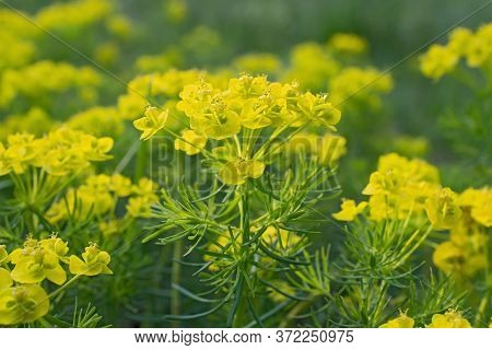 Sprigs Of Bright Yellow Flowers Of Spurge In The Blurred Green Background.