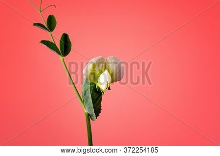 Flower On A Sprout Of Peas On The Ground Against A Coral Color