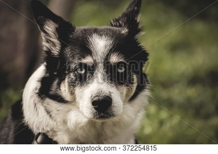 Charming Portrait Of A Dog With A Black And White Color.