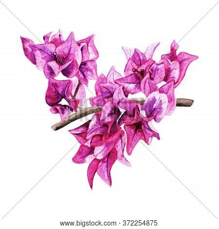 Beautiful Purple Flowers Of Bougaivillea. Realistic Watercolor Image Isolated On White Background. G