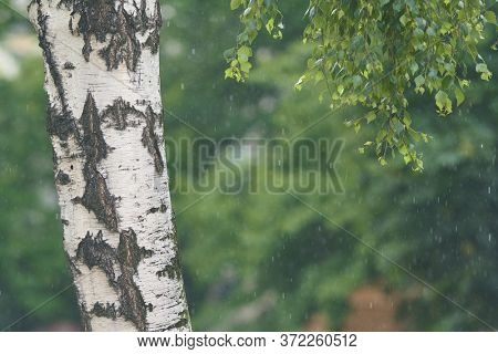 Close up of birch tree during rain, water droplets visible in the background.