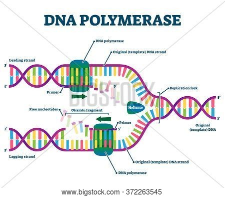 Dna Polymerase Enzyme Syntheses Labeled Educational Vector Illustration. Genetic Chemistry And Struc